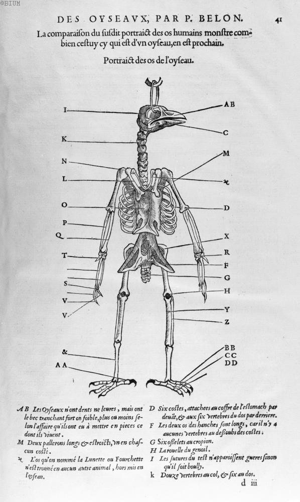 Portraict des os de l'oyseau